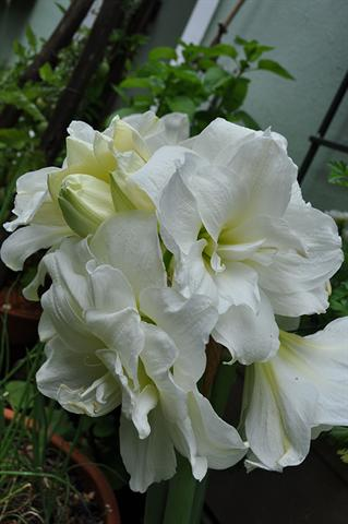 One of the newer double white varieties of amaryllis