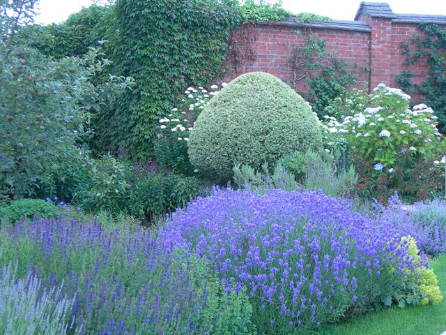 lavender bushes -- growing lavender - how to grow lavender