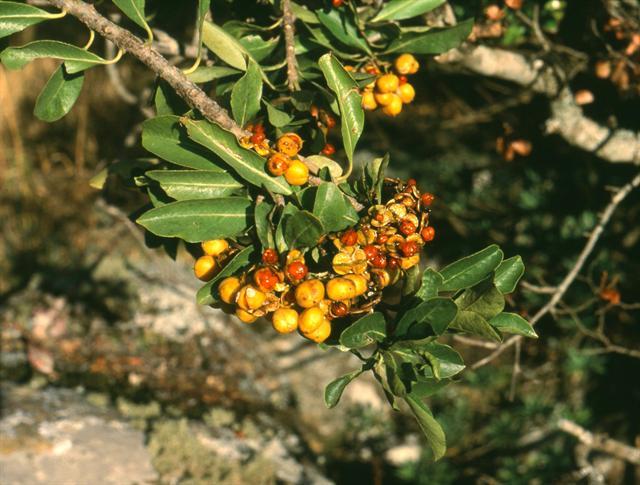 Cheesewood (Pittosporum viridiflorum).
