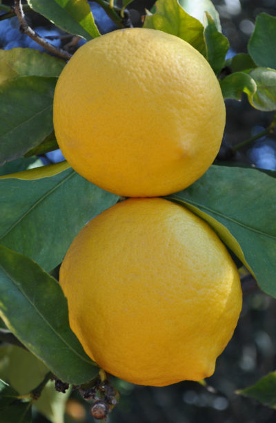 Eureka - growing lemons