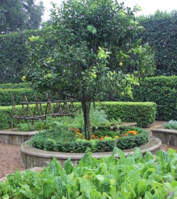 Lemon tree - growing lemons