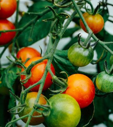 cherry tomatoes - self seeding vegetables and herbs - urban gardening