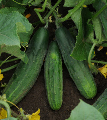 Zucchini - vegetables and herbs for small spaces
