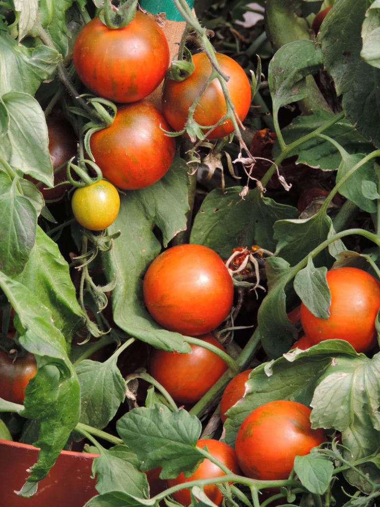 TOMATO 'RAMBLING RED STRIPE' -- vegetables and herbs for small spaces container gardening