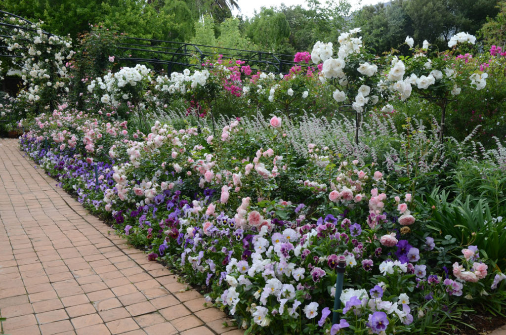 Companion Planting In The Rose Garden SA And Home