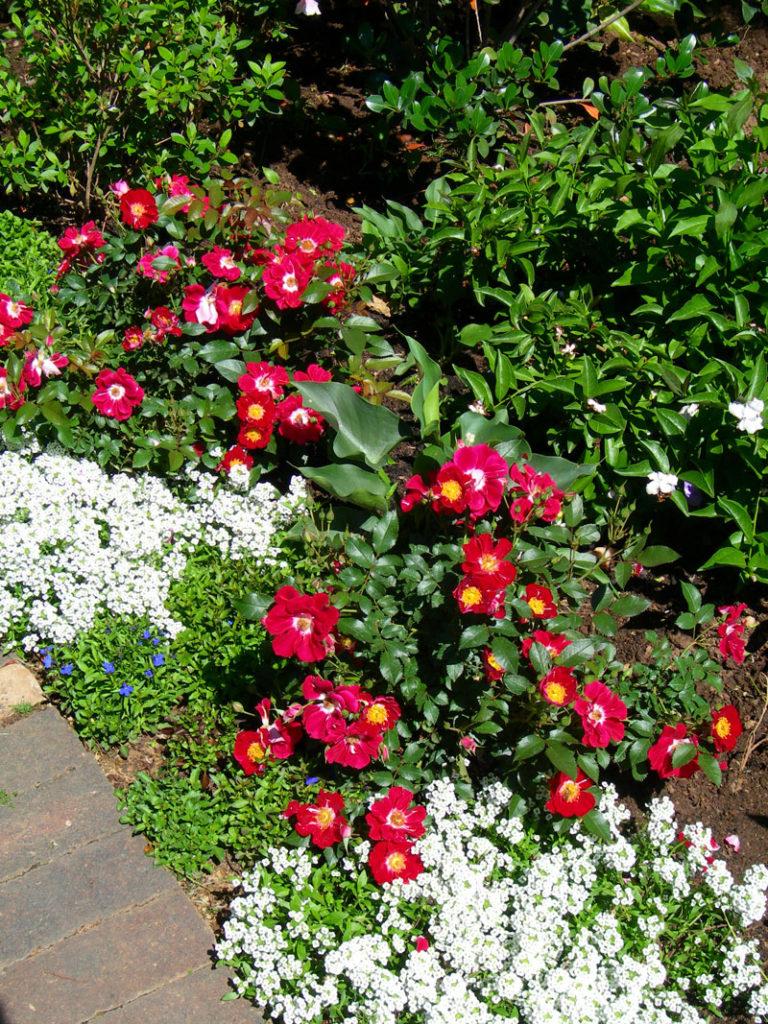 companion planting in the rose garden - Alyssum and lobelia