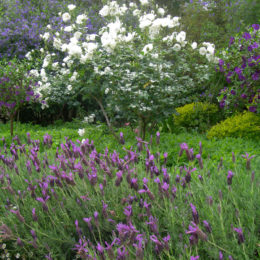 Companion planting in the rose garden