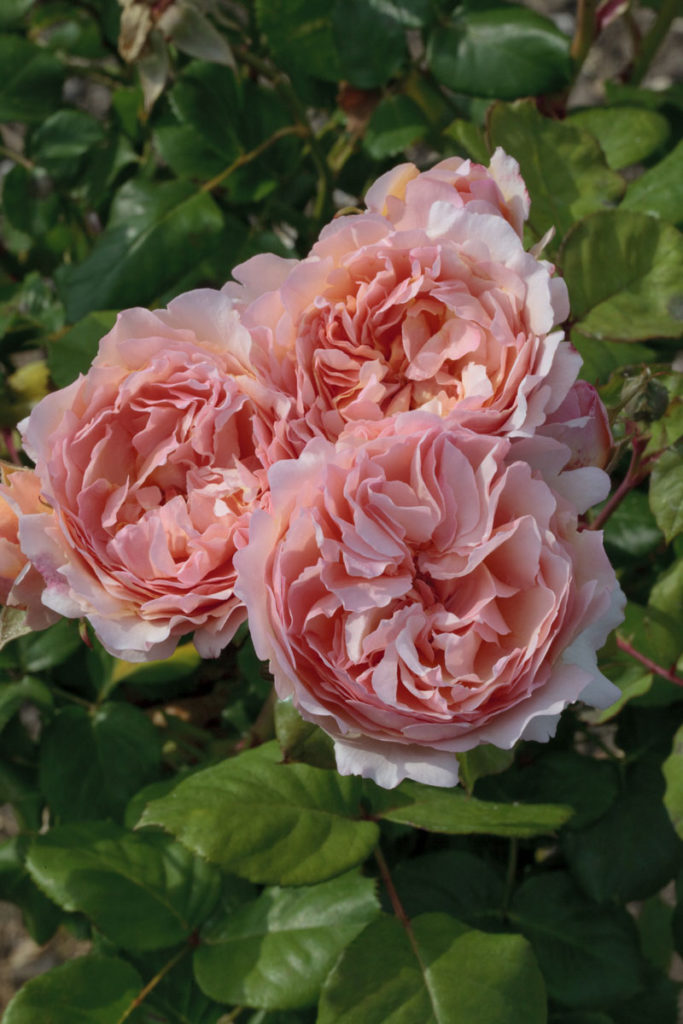 Love Garden Roses: 10 Roses We Know You'll Love