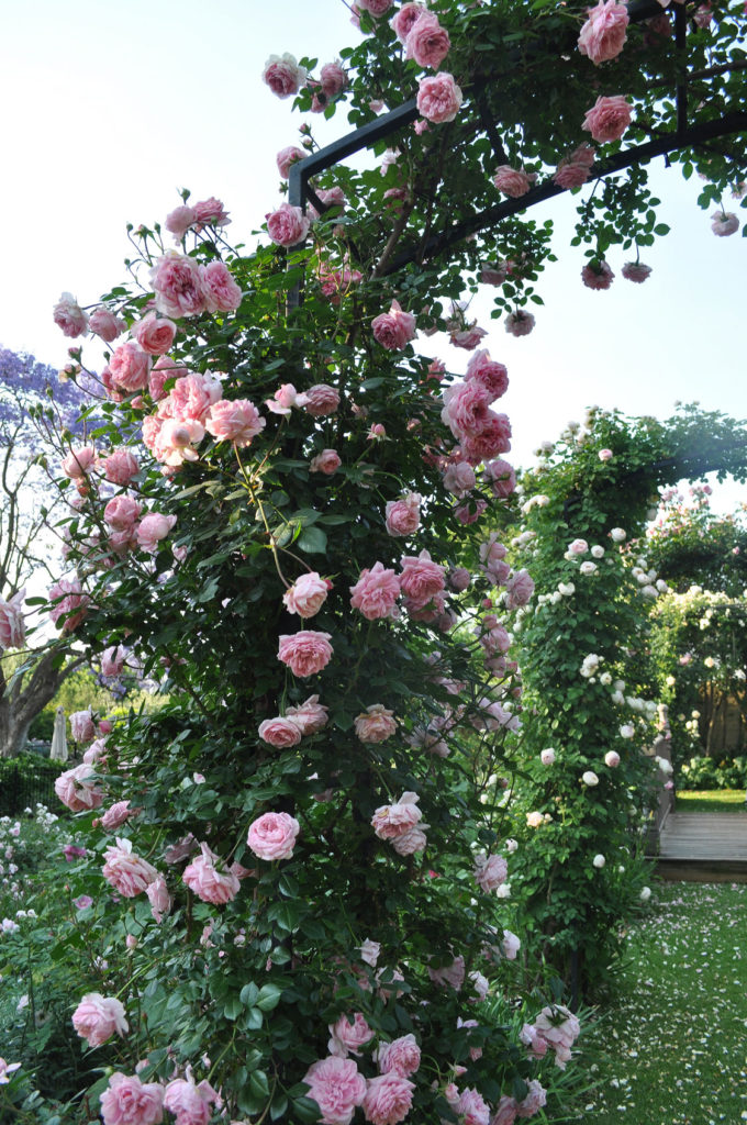 climbing-roses - fragrant climbers