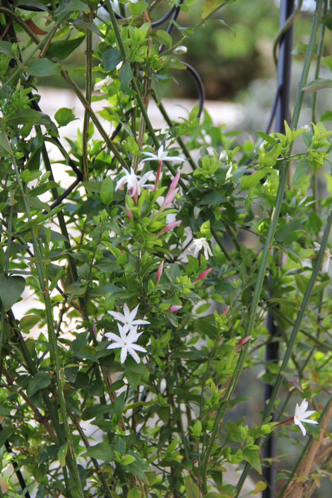 jasminum-multipartitum- fragrant climbers