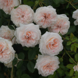 How to grow roses 101: All you need to know