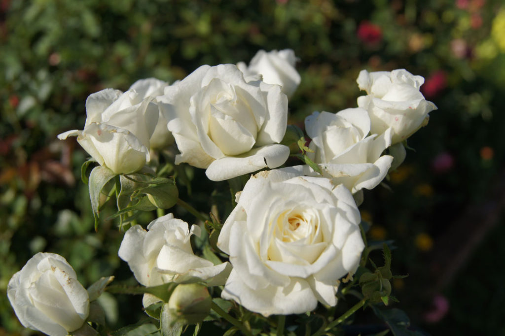 White Figurine - grow roses