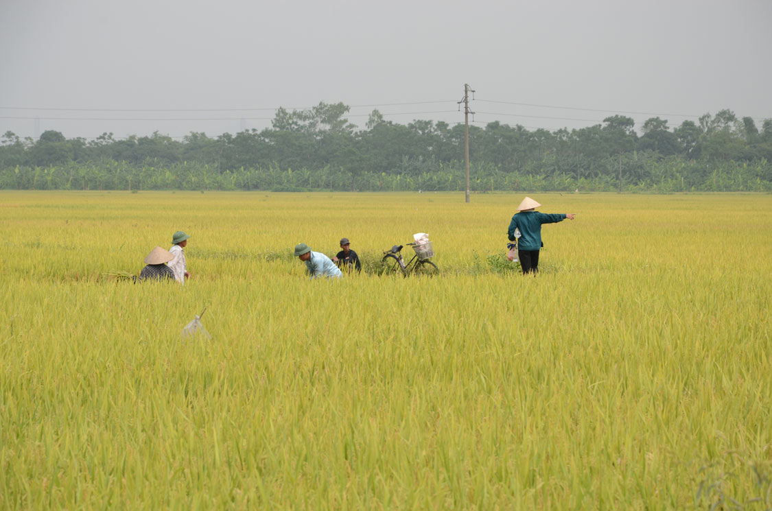 RICE, AN IMPORTANT STAPLE AND MAJOR EXPORT, IS STILL FARMED IN THE TRADITIONAL WAY.