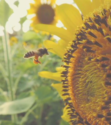 sunflower - growing sunflowers - attracting bees to the garden SA Garden and Home