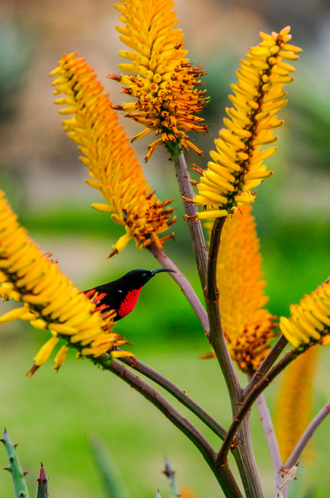 Scarlet-chested sunbird on an Aloe marlothii.