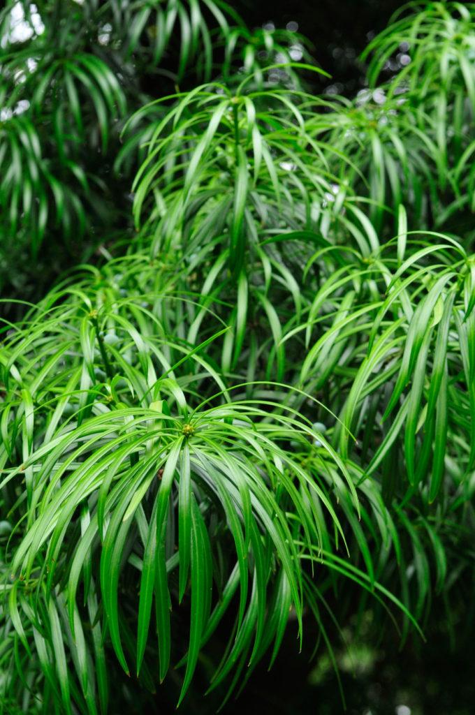 podocarpus-henkelii