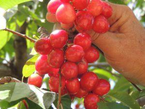 where to pick fruit in south africa fiksburg-cherry-festival