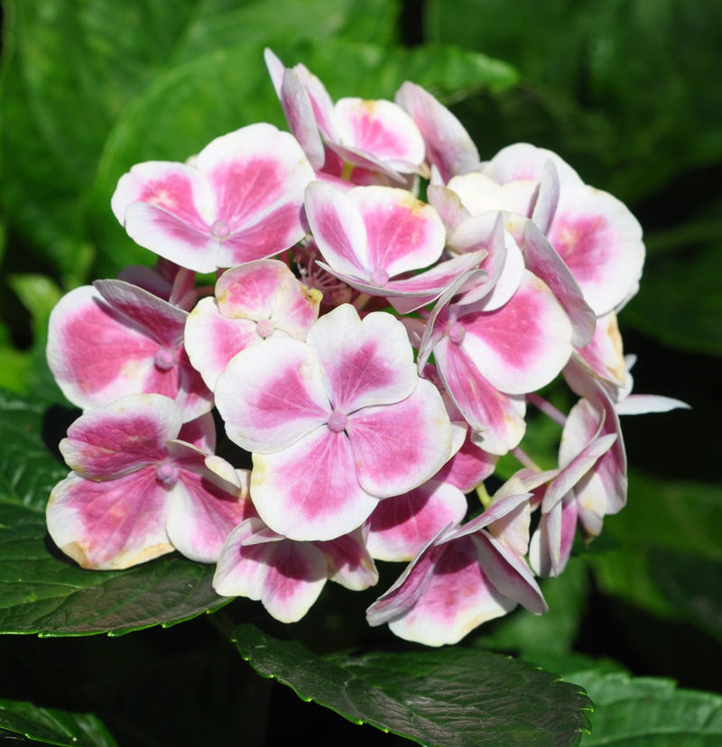 Caring For Hydrangeas Essential Tips