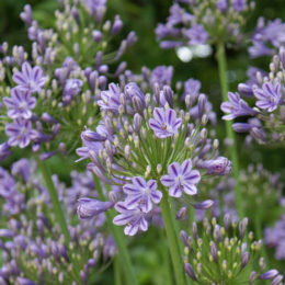 6 Of the best agapanthus