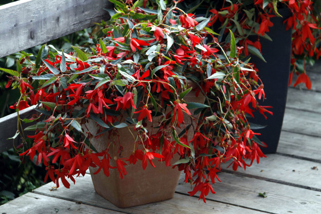 'Mistral Red' - growing begonias