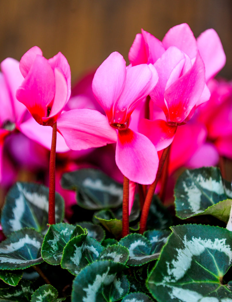 Growing Cyclamen at home from A to Z (INFOGRAPHICS)