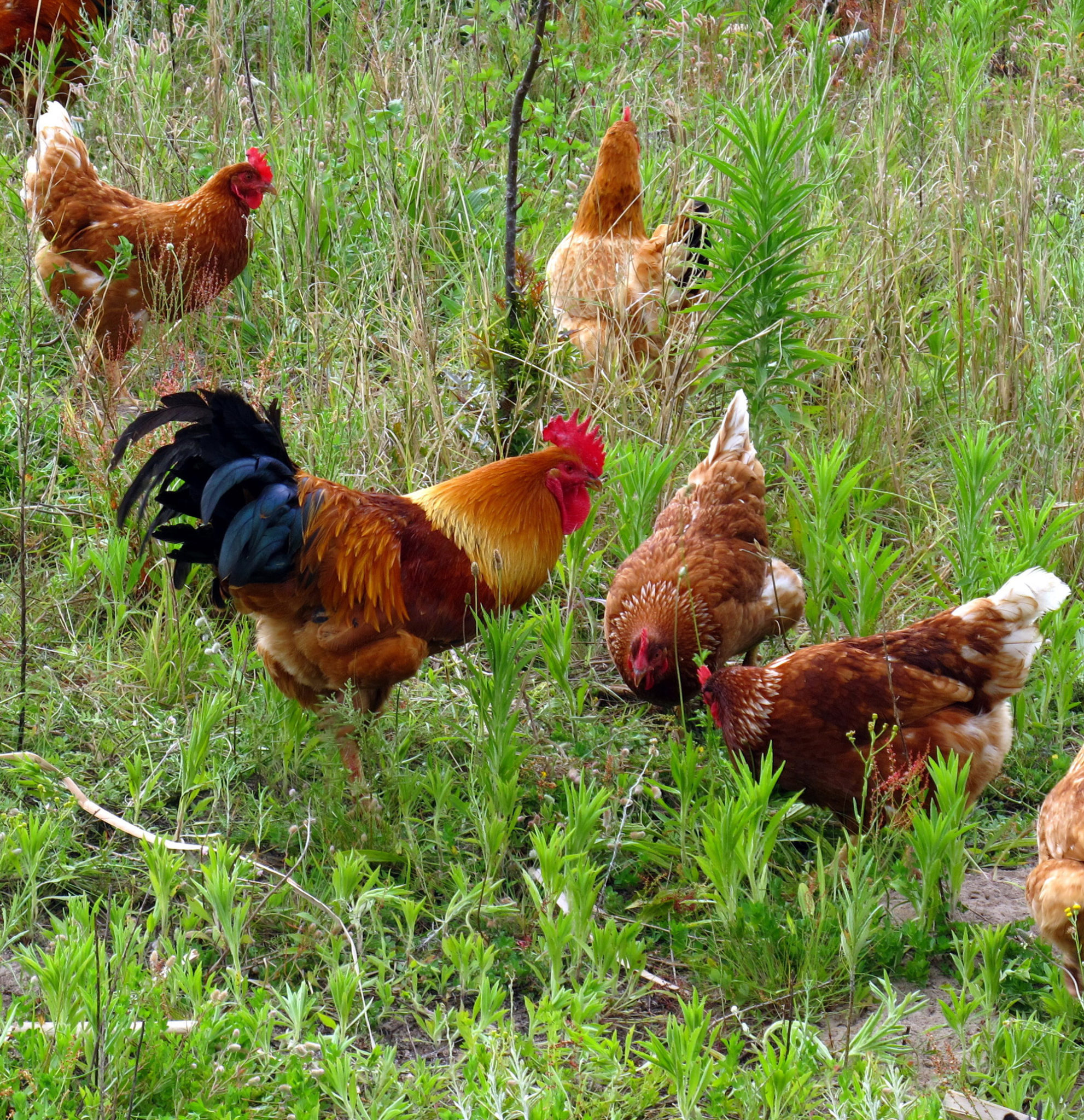 Free-range chickens fertilise a garden and keep it clear of pests.