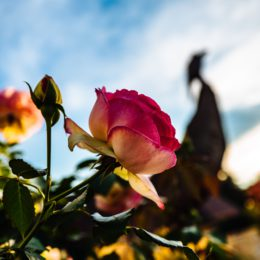 Attend a free rose pruning demonstration in July