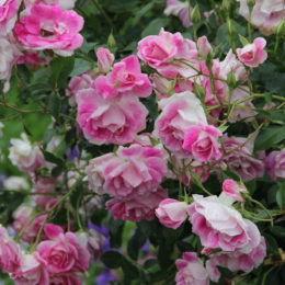 Step-by-step rose pruning guide