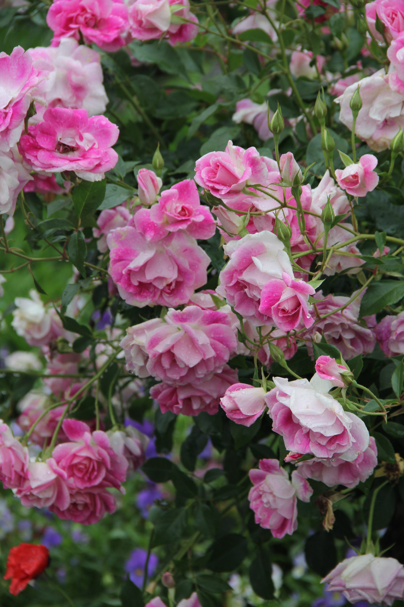Step By Step Rose Pruning Guide Sa Garden And Home