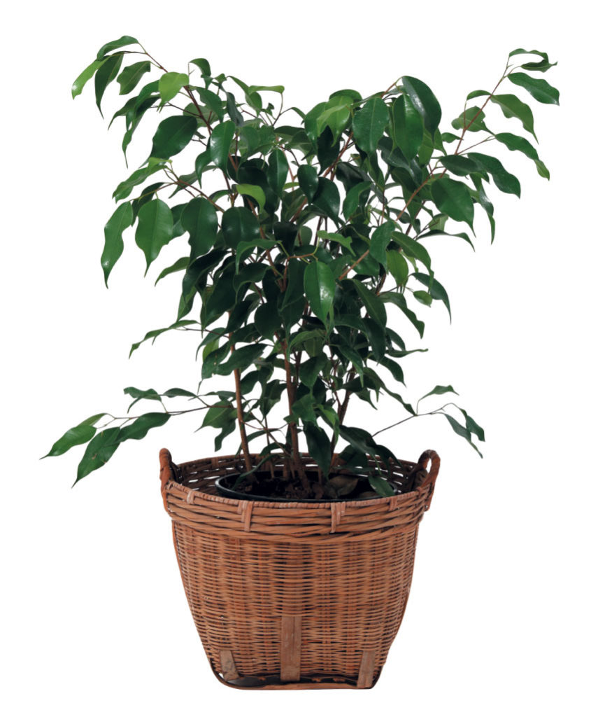 Indoor-plants_Ficus