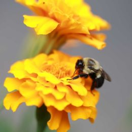 Bee-friendly-garden_marigold