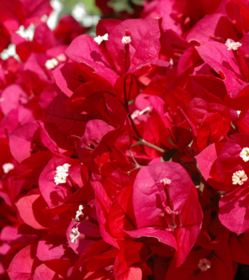 Growing bougainvilleas_Scarlett OHara