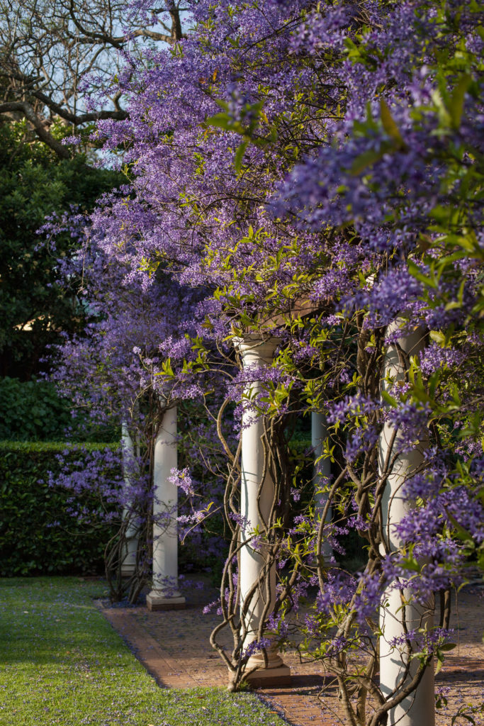 Petrea-volubilis - purple plants - SA Garden and Home
