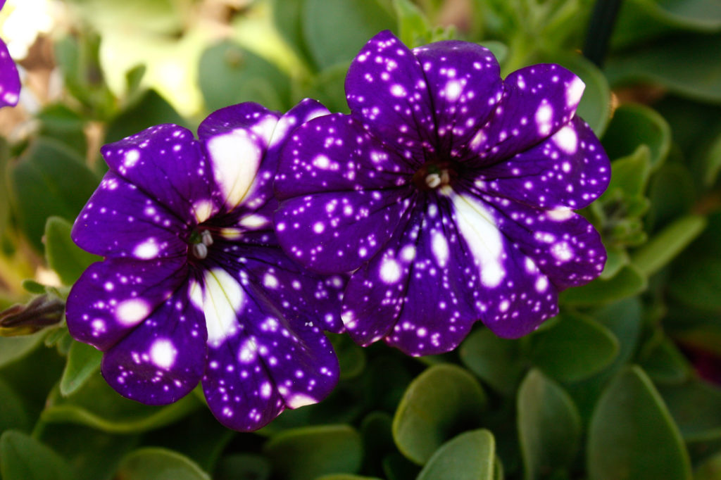 Petunia Night Sky - purple plants - SA Garden and Home