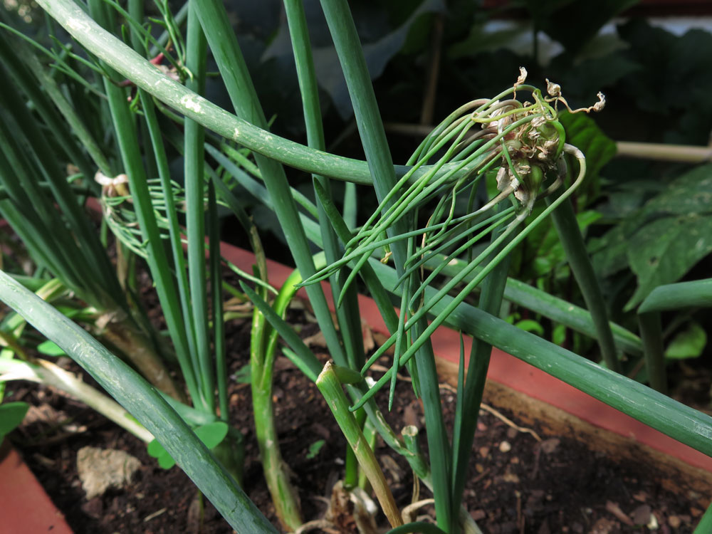 growing_onions_all_year-round