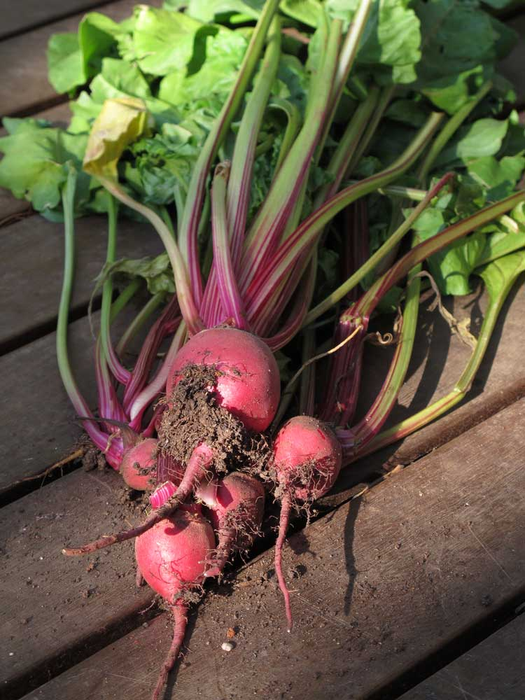 growing beetroot - 1