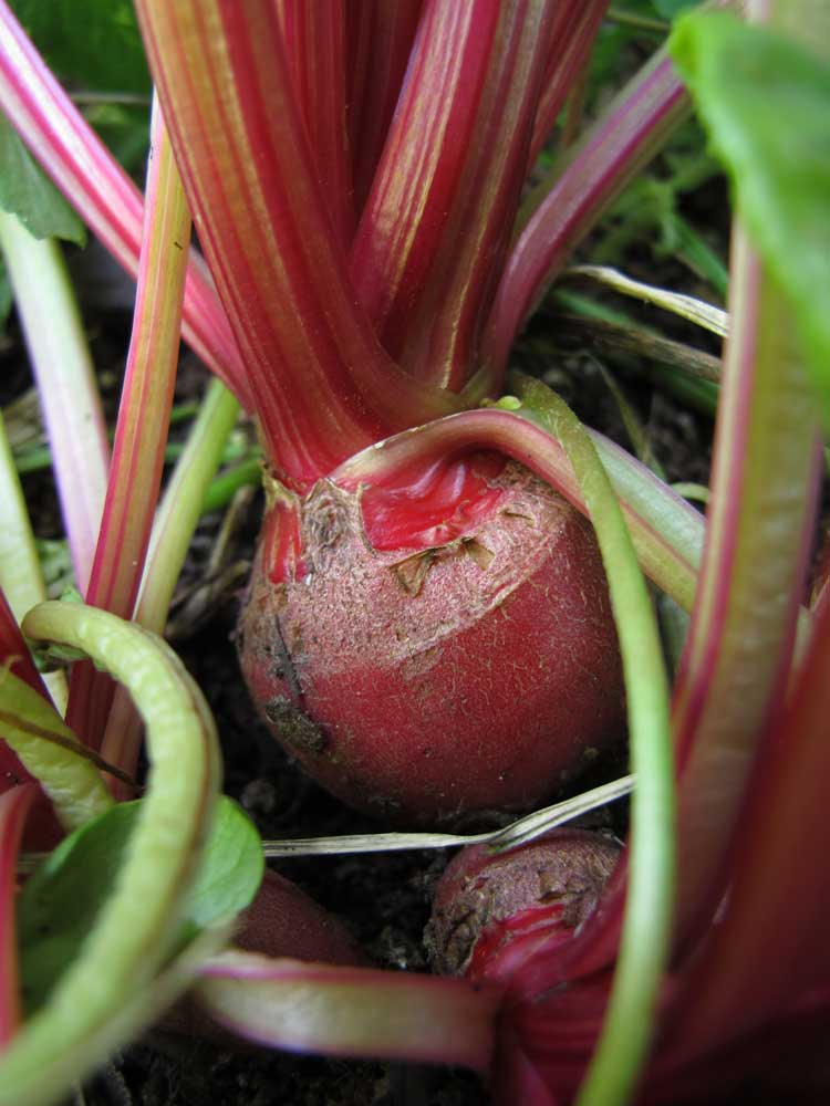 growing beetroot - 3