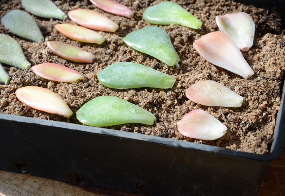 an easy way to propagate succulents 2