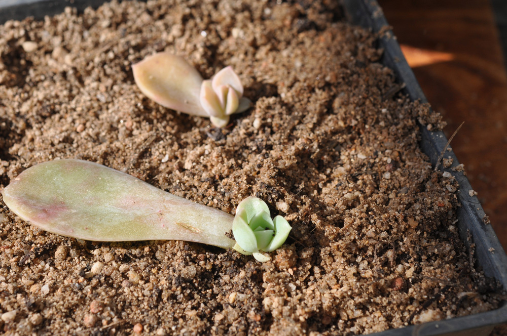 an easy way to propagate succulents 3