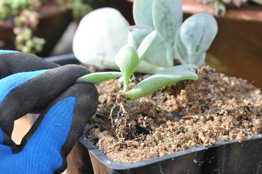 an easy way to propagate succulents 5
