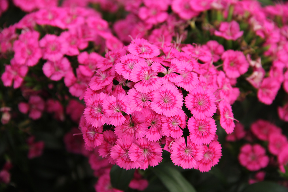 Sweet william flower + winter gardening guide