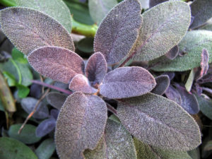 anti-ageing plants -- sage