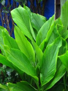 anti-ageing plants -- turmeric 2