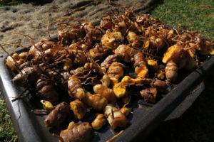 how to grow turmeric 04