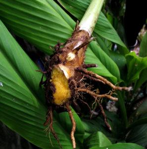 how to grow turmeric 06