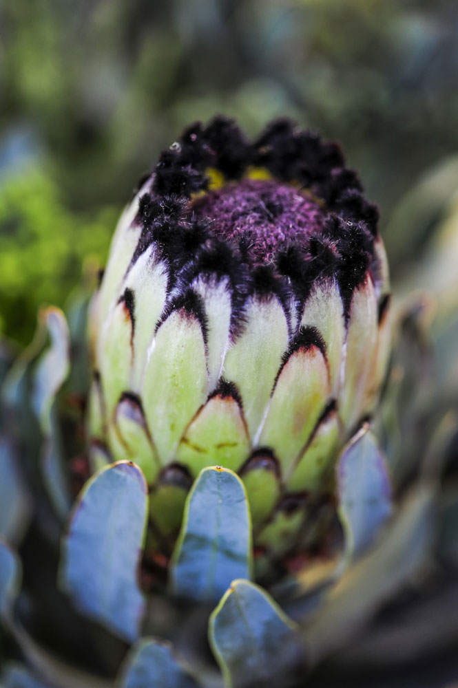 growing proteas -- 6