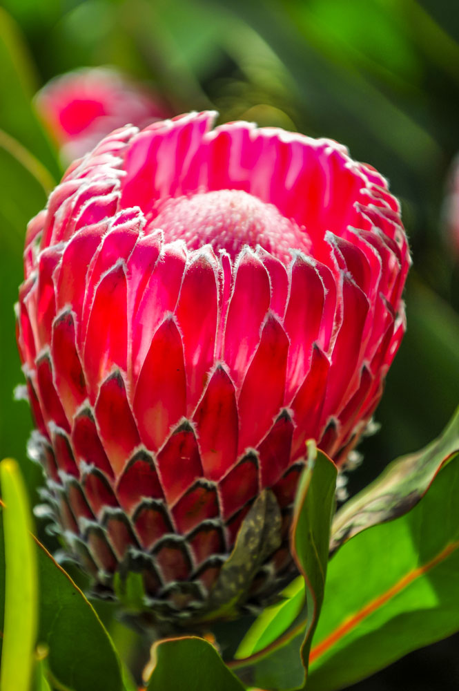 growing proteas -- 5
