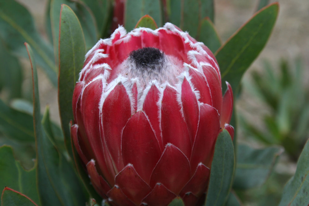 growing proteas-- 1