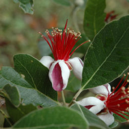 Exotic Pineapple guava flowers - edible flowers