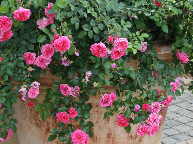 roses in containers